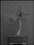 bonsai-01-thm.jpg