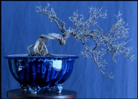windblown-bonsai-02-thm.jpg